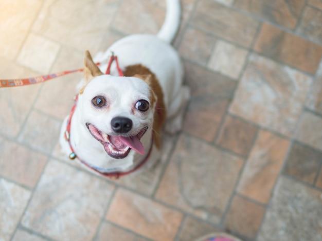 Verfolgen sie das chihuahuakopfporträt, das eine leine hält, die glückliches lächelndes lächeln glaubt