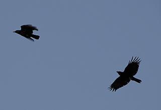 Verfolgungsjagd der krähen