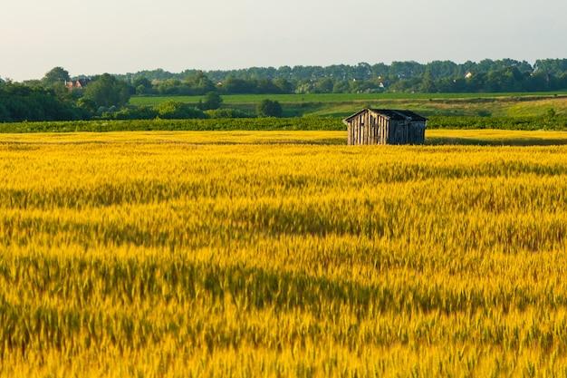 Vergessenes holzhaus in einem goldenen weizenfeld.
