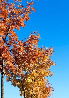 Vergilbte ahornblätter - fotografierte nahaufnahme von im herbst vergilbtem ahornblatt, ahornblatt, herbstsaison, geringer schärfentiefe