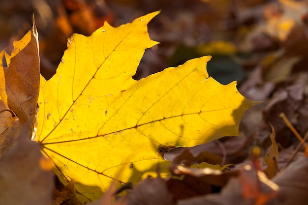 Vergilbte ahornblätter, nahaufnahme von im herbst vergilbten ahornblättern, ahornblatt, herbstsaison,