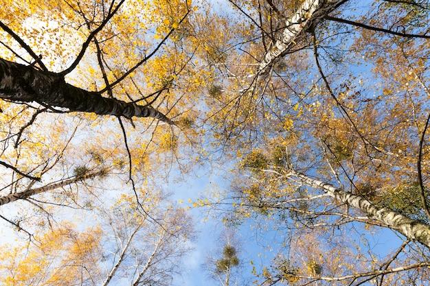 Vergilbtes birkenlaub im herbst. herbstsaison, fotografierte baumwipfel