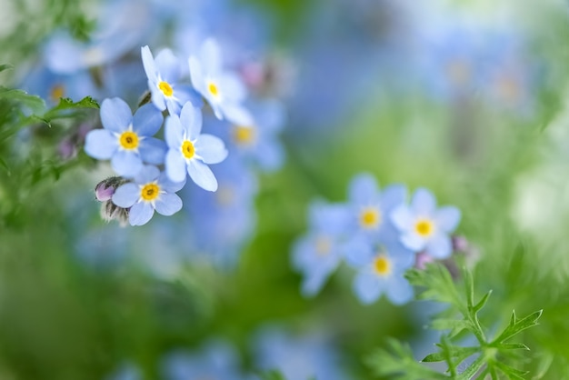 Vergissmeinnicht blüht florale oberfläche selektiver fokus