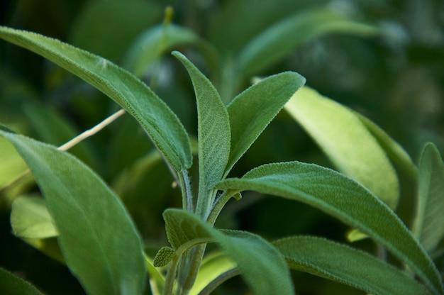 Vergrößern eines salvia-salbeiblattes, einer pflanze, die in der küche als gewürz verwendet wird.