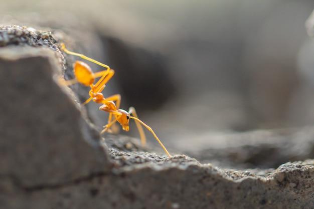 Verhalten von ameisen. roter ameisenweg auf grauem beton.