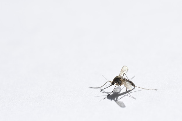 Verletzter moskito kriecht von der gefahrennahaufnahme, kopienraum