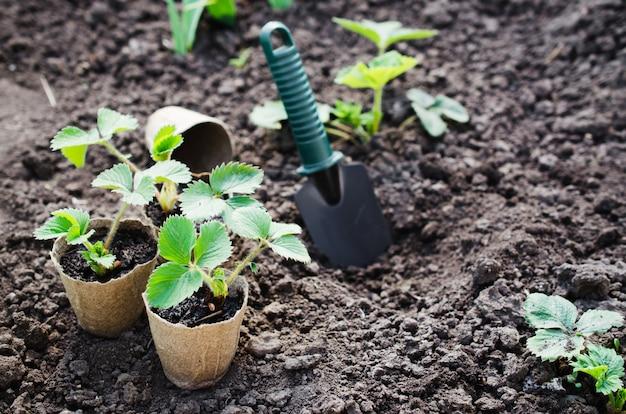 Verpflanzung von erdbeerpflanzen.