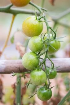 Verrottete tomaten.