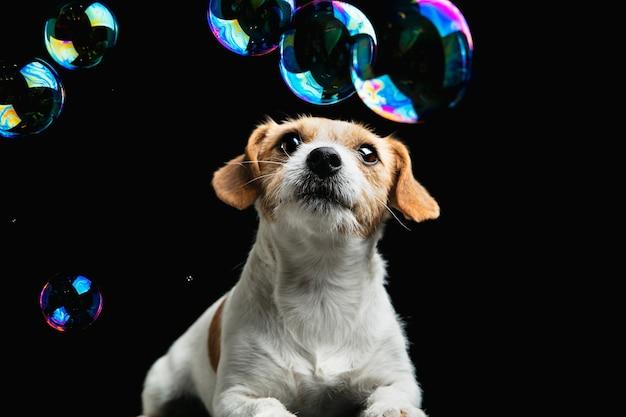 Verrückt glücklich. jack russell terrier kleiner hund. nettes verspieltes hündchen oder haustier, das auf schwarzem hintergrund mit seifenblasen spielt. konzept der bewegung, aktion, bewegung, haustiere lieben. sieht glücklich, erfreut, lustig aus.