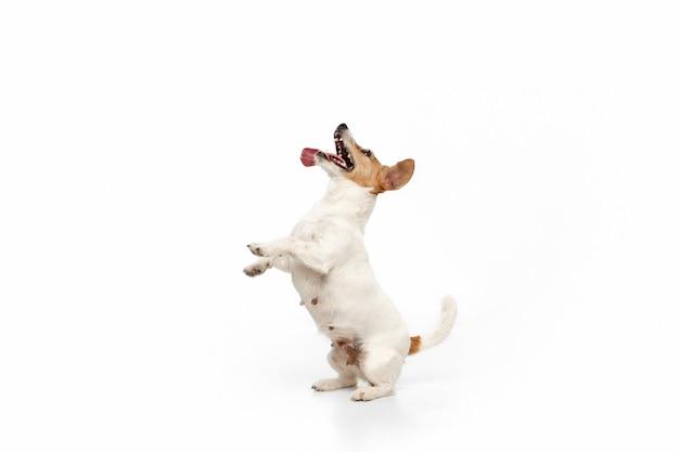 Verrückt glücklich. jack russell terrier kleiner hund posiert. nettes verspieltes hündchen oder haustier, das auf weißem studiohintergrund spielt. konzept der bewegung, aktion, bewegung, haustierliebe. sieht glücklich, erfreut, lustig aus.