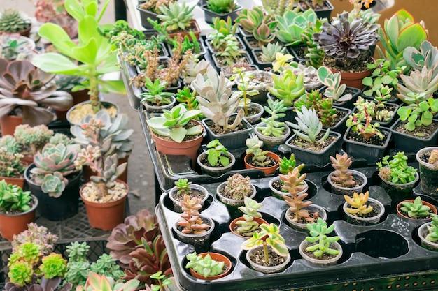 Verschiedene arten von sukkulenten topf - echeveria, sempervivum, blühende pflanzen für den handel
