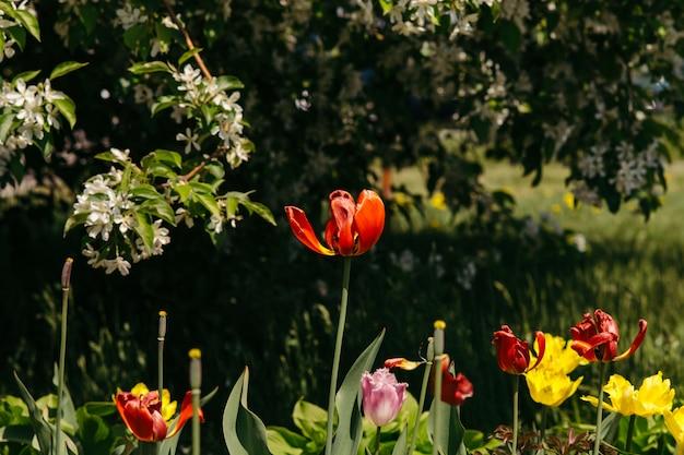 Verschiedene arten von tulpen unter den weitläufigen zweigen eines blühenden apfelbaums.