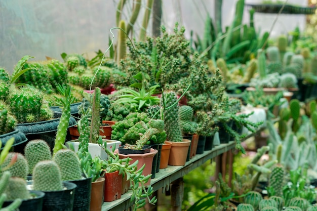 Verschiedene arten von verschönerungskaktuspflanzen in töpfen, die im garten angeordnet sind.