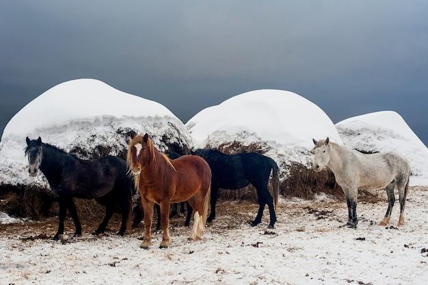 Verschiedene farbige pferde vor dem hintergrund des heus im winter