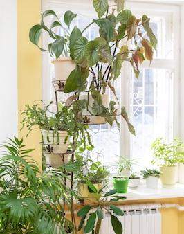 Verschiedene grüne topfpflanzen auf blumen stehen in der nähe des fensters und auf der fensterbank zu hause am sonnigen wintertag.