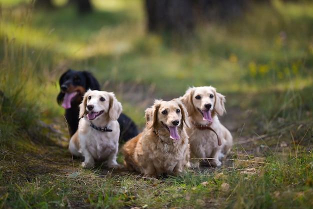 Verschiedene hunderassen. sieht direkt aus. hintergrund des grünen grases.