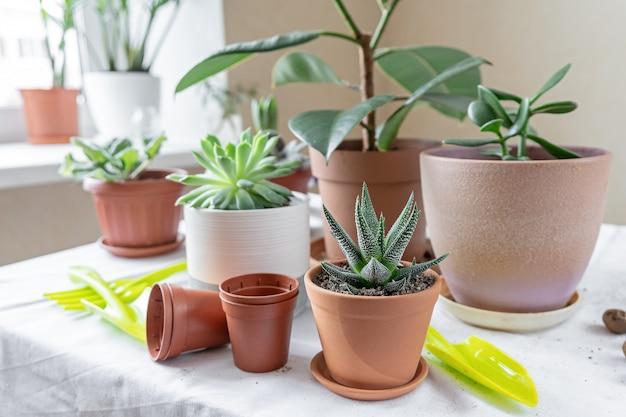 Verschiedene pflanzen in verschiedenen töpfen auf dem tisch. pflanzentransplantation. konzept des innengartenhauses.