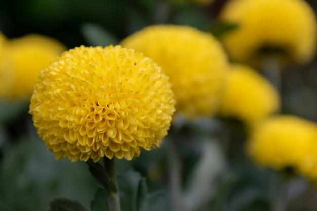 Verschiedene sorten und stile von chrysanthemen