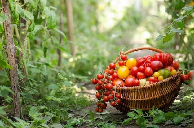 Verschiedene tomaten in körben in der nähe des gewächshauses