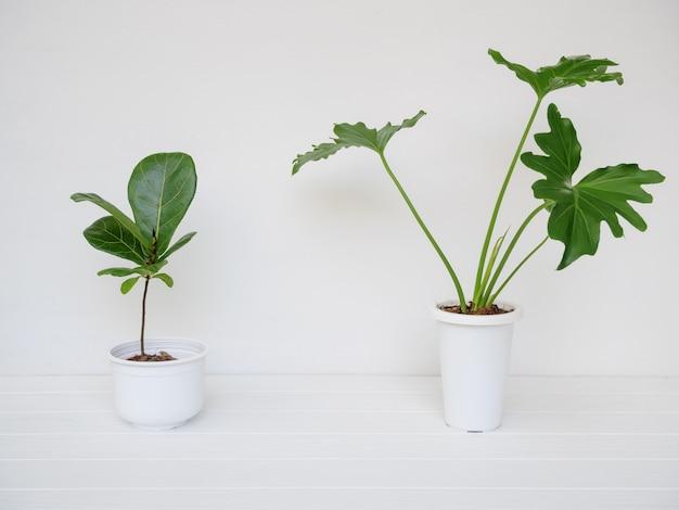 Verschiedene zimmerpflanzen in modernen stilvollen behältern auf weißem holztisch und wand im weißen raum, natürliche luft reinigen mit philodendron selloum, ficus lyrata baum