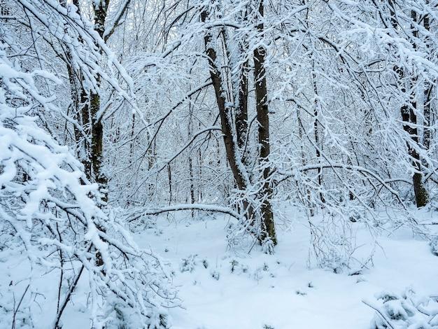 Verschneite bäume im wald. schneeverwehungen unter den bäumen. winterlandschaft