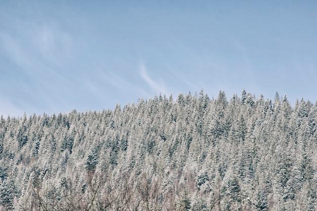 Verschneite fichte und blauer himmel. dicker nadelwald. winterlandschaft