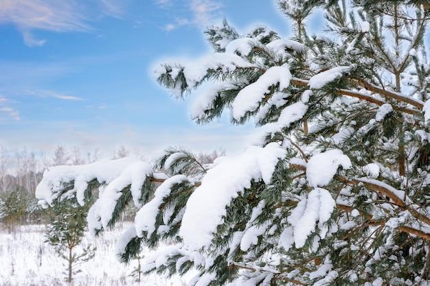 Verschneite tannenzweige auf dem hintergrund einer winterlandschaft. weihnachtsbaum.