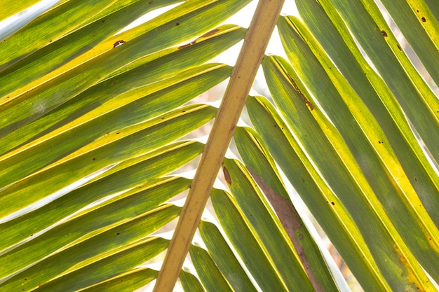 Verschwommene blätter einer kokosnusspalme für natürlichen hintergrund