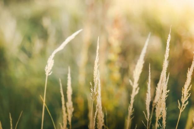 Verschwommene nahaufnahme von grün und gras an einem sonnigen tag mit warmem gelbem bokeh. textur.