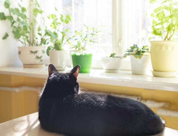 Verschwommenes, gemütliches, trendiges wohninterieur mit grünen hauspflanzen am sonnenbeschienenen fenster und mit schwarzer katze, die sich in der sonne sonnt.