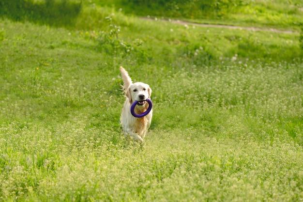 Verspielter hund, der auf blühendem feld geht