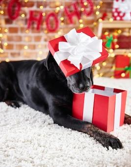 Verspielter hund, der ein weihnachtsgeschenk öffnet