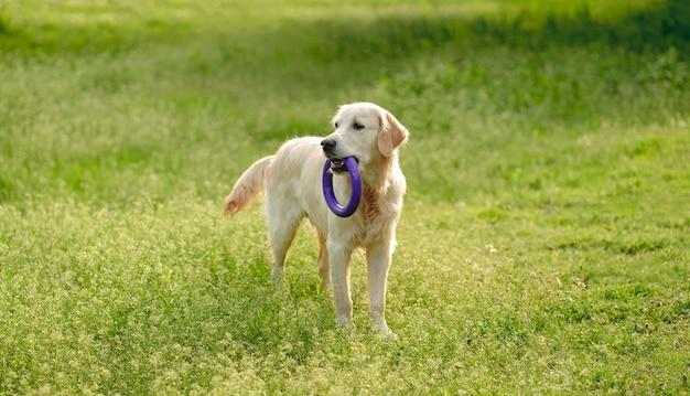 Verspielter hund mit spielzeugring, der draußen auf blühendem feld geht