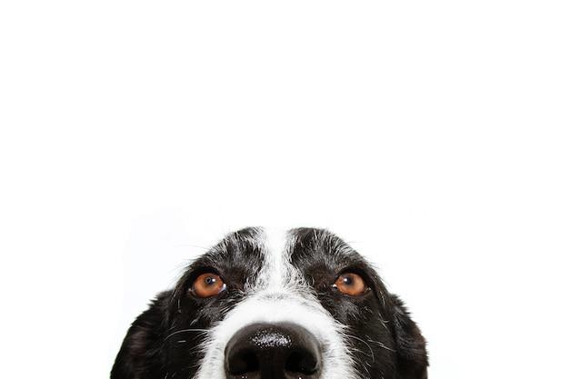 Versteckter aufmerksamer border collie hund
