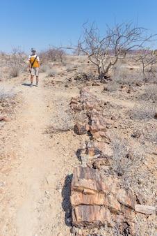 Versteinerter und mineralisierter baumstamm. tourist im berühmten versteinerten forest national park bei khorixas, namibia, afrika. 280 millionen jahre alter wald, klimakonzept