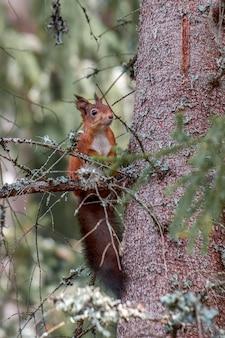 Vertikal von einem niedlichen eichhörnchen, das mitten im wald heraushängt