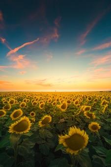 Vertikale ansicht der sonnenblumen unter dem bunten himmel, der in andalusien, spanien gefangen genommen wird