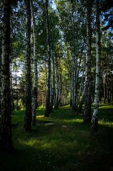 Vertikale aufnahme der hohen bäume im wald an einem sonnigen tag im sommer