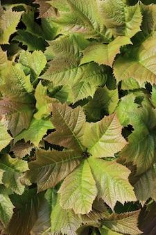 Vertikale aufnahme der rodgersia podophylla-pflanze unter dem sonnenlicht