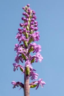 Vertikale aufnahme der schönen lila dactylorhiza praetermissa blühenden pflanze