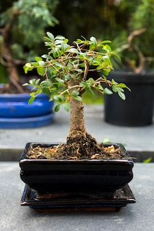 Vertikale aufnahme einer bonsai-pflanze auf unscharfem hintergrund