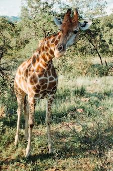 Vertikale aufnahme einer giraffe nahe bäumen und pflanzen an einem sonnigen tag