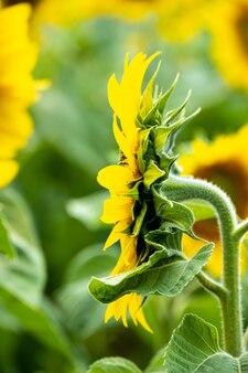 Vertikale aufnahme einer schönen sonnenblume