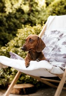 Vertikale aufnahme eines braunen dackelhundes, der auf einem liegestuhl sitzt