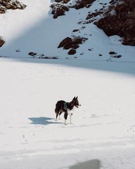 Vertikale aufnahme eines cumberland-schäferhundes auf einem felsigen hügel, der im schnee unter dem sonnenlicht bedeckt ist