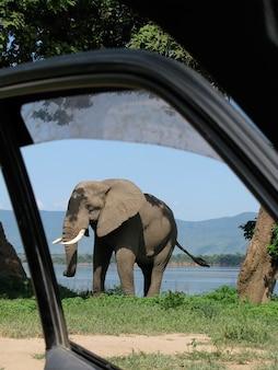 Vertikale aufnahme eines elefanten auf einer geöffneten autotür im vordergrund im mana pools national park, simbabwe