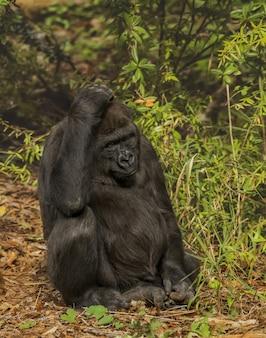 Vertikale aufnahme eines gorillas, der seinen kopf kratzt, während er mit einem unscharfen wald im hintergrund sitzt