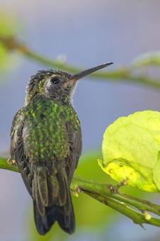 Vertikale aufnahme eines molligen grünen bienenkolibri, der auf einem dünnen ast mit blättern steht