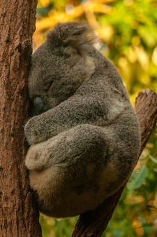 Vertikale aufnahme eines niedlichen koalas, der auf dem baum mit einem unscharfen hintergrund schläft