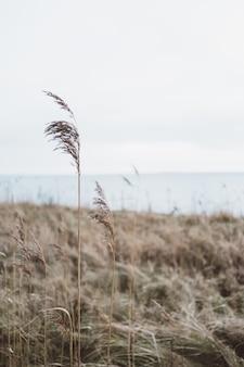 Vertikale aufnahme eines trockenen grases, das auf einer landschaft unter einem bewölkten himmel wächst